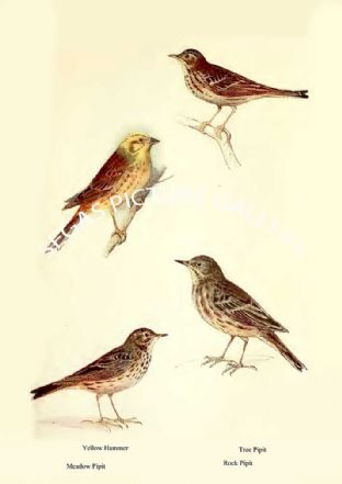 Yellow Hammer, Meadow Pipit, Tree Pipit & Rock Pipit